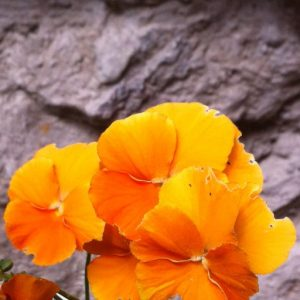 orange Veilchen vor Schwedenhaussteinmauer