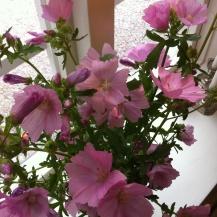 Schwedens Malvenblüte