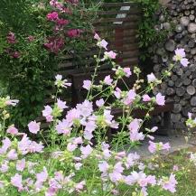 Schweden blüht und grünt im Sommer besonder hellrosa Malven haben es mir angetan
