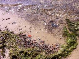 Seetang und bunte Steine