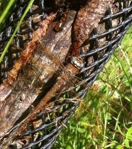 Findest du die riesige Libelle?
