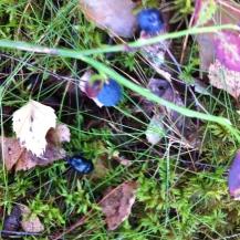 Waldheidelbeeren im Schwedenblog am Beerenstrauch