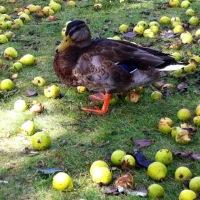 .. spielende Enten :D