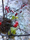 Hagebutten im Frost
