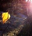 gelb hinterleuchtetes Birkenblatt