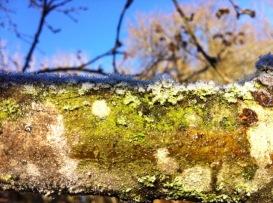 Moosbedeckter Ast von unserem knorrigen WunschApfelbaum