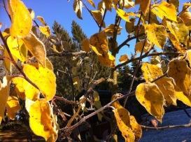 Goldene Herbstblätter vor winterklarem Himmel über unseren Tannenwipfeln
