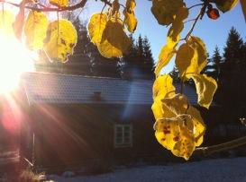 Goldene Herbstblätter vor winterklarem Himmel über unserem Schwedenhaus